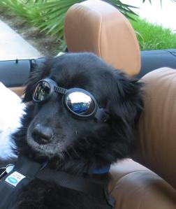 black lab dog wearing sun glasses