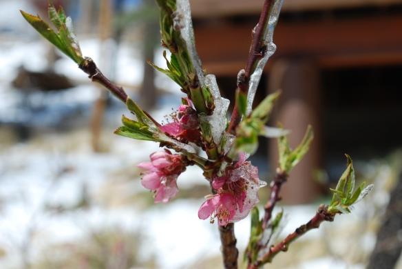 icy tree bud