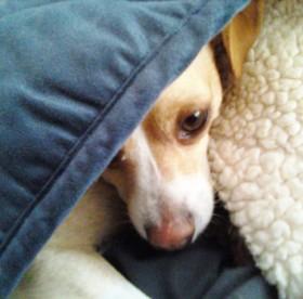 puppy peeking from under blanket